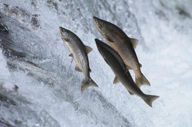 Як швидко випатрати рибу